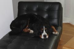 foto-berner-sennenhund-2