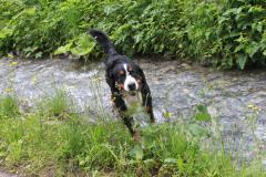 foto-berner-sennenhund-5